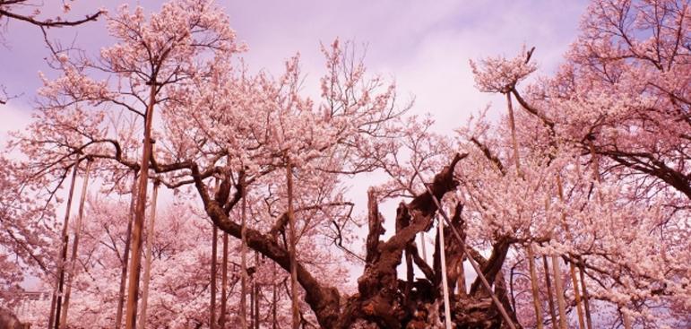 Hanami: The Cherry Blossom Festival in Japan